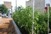 At the Bronzeville Community Garden, produce is grown to be used by the community.